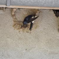 Le nid d'hirondelles