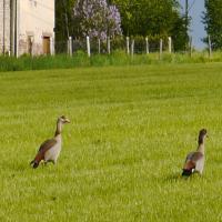 Les oies sauvages